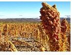 مقاله عالی در مورد گیاه  جدید کینوا